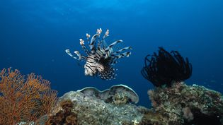 La rascasse volante, appelée également un poisson lion, est considérée comme un prédateur en mer des Caraïbes. (MAXPPP)