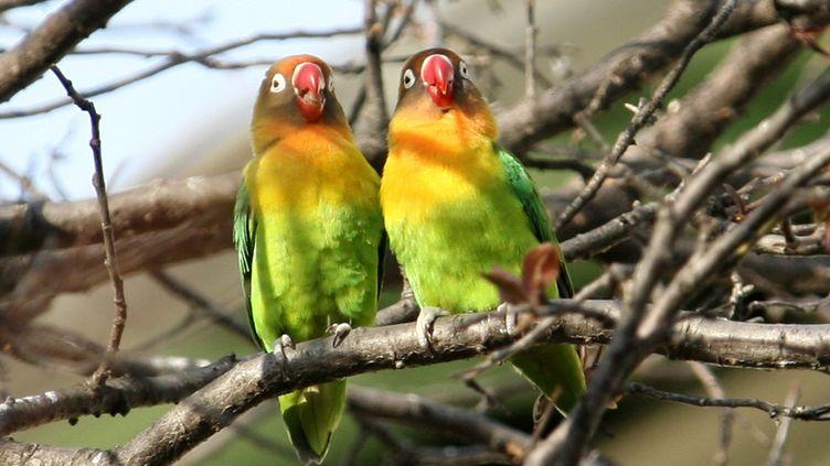 Des perruches en couple sur une branche d'arbre. (VALERY HACHE / AFP)