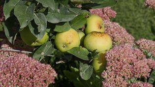Les arbres fruitiers peuvent être sujets à de nombreuses maladies parmi lesquelles la moniliose, la cloque du pêcher et la tavelure. (ISABELLE MORAND / RADIO FRANCE)