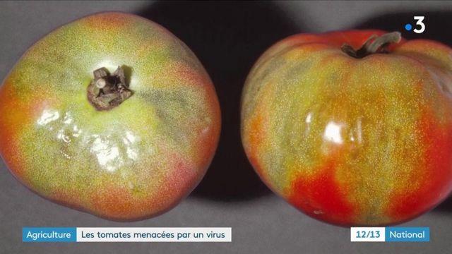 Agricultures : un virus menace les tomates