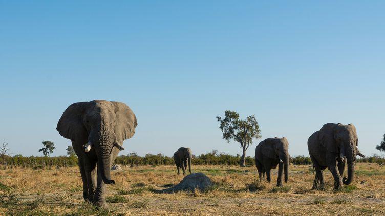 Des éléphants dans le parc national de Chobe, au Botswana, le 14 juillet 2017. (DELTA IMAGES / CULTURA CREATIVE / AFP)