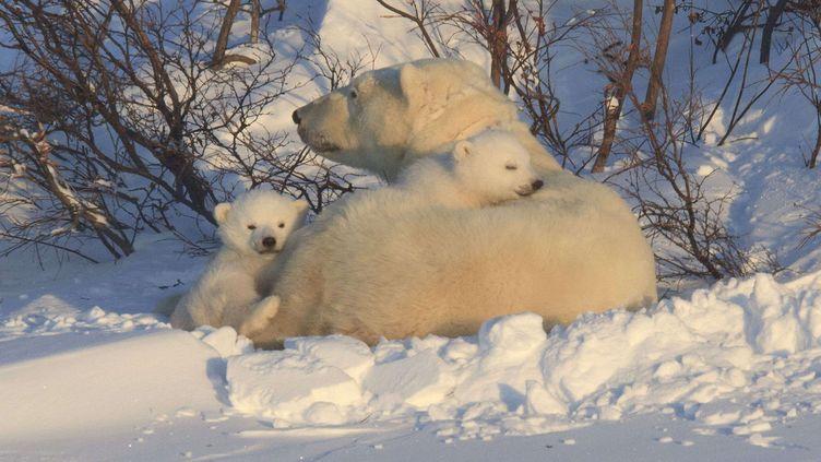Une femelle et ses deux oursons polaires le 6 mars 2012 dans la baie d'Hudson (Canada). (CHRISTINE HAINES / REX / SIPA)