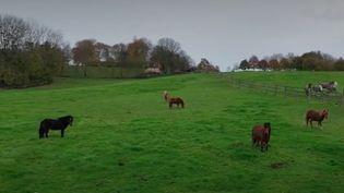 Dans leharas du Pin, en Normandie, des chevaux de trait sont élevés comme les Percherons, véritables vedettes locales. (France 2)