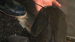 Sur les bords de Loire, les pêcheurs professionnels se font rares, alors ils se démènent pour faire connaitre leurs poissons d'eau douce.  (CAPTURE ECRAN FRANCE 2)
