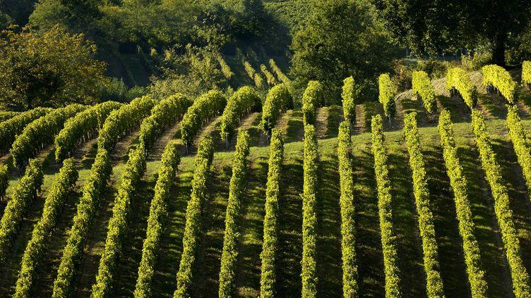 Des vignobles de l'AOC côtes-de-bourg, à Lansac (Gironde). (PHILIPPE ROY / AFP)