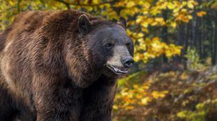 Un oursdes Pyrénées dans la forêt (photo d'illustration). (MAXPPP)