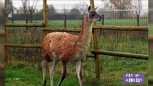 Ineka le lama a disparu le 1er décembre. (CAPTURE ECRAN FACEBOOK PET ALERTE MAYENNE 53)