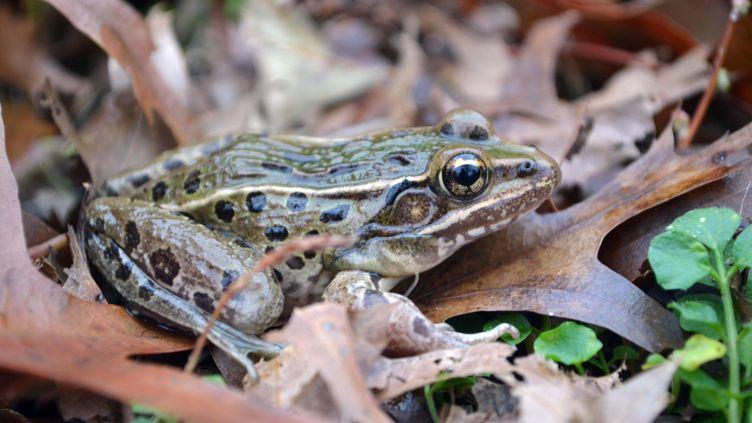 Cette nouvelle espèce de grenouille vit à New York mais également dans le nord du New Jersey, dans le sud-est de New York et sur Staten Island. (BRIAN CURRY / RUTGERS UNIVERSITY)
