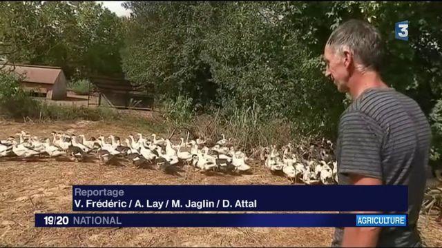Grippe aviaire : le désarroi des éleveurs