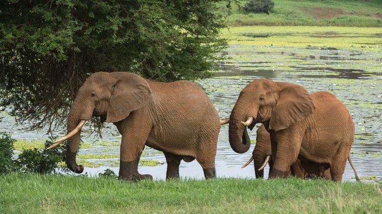 Des éléphants dans une réserve au Kenya (SERGIO PITAMITZ / BIOSPHOTO)