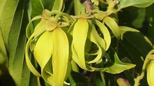 L'essence d'ylang-ylang se retrouve dans beaucoup de parfums. Cette fleur pousse notamment à Madagascar. (FRANCE 2)