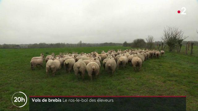 Loire-Atlantique : des vols de brebis à répétition