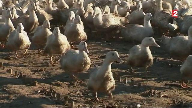 Grippe aviaire : 1 400 abattages préventifs dans un élevage landais