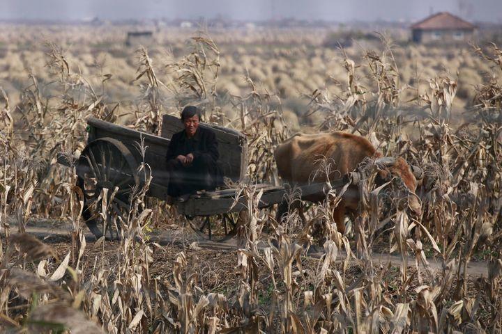 Un Nord-Coréen sur une charrue à bœuf à Sinuiju (Corée du Nord),près de la ville frontalière chinoise de Dandong, le 24 octobre 2012. (ALY SONG / REUTERS)