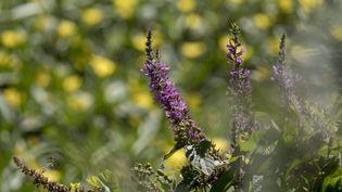 La salicaire est une plante sauvage recommandée en phytothérapie. (CHRISTIAN WATIER / MAXPPP)