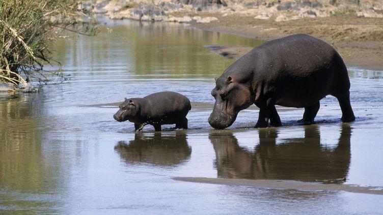 (Hippopotames en Afrique du Sud  © Maxppp)