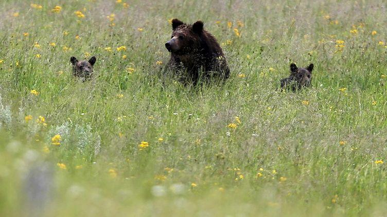 L'espèce n'est donc plus menacée comme elle a pu l'être par la chasse intensive dans les années 1900. Au milieu des années 1970, la population des grizzlis («Ursus arctos horribilis)», considérés comme «une sous-espèce de l'ours brun circumpolaire» (dixit un site spécialisé), était tombée à 136 individus dans la zone du parc du Yellowstone (nord-ouest du Wyoming). Elle serait remontée entre 700 et 1000 aujourd'hui, croit savoir le «Christian Science Monitor». L'animal, qui mesure en moyenne un mètre au garrot, pèse jusqu'à 550 kg et peut vivre jusqu'à 25 ans. Carnivore, il n'a pas la réputation d'être particulièrement sympathique: le mâle a besoin d'un territoire grand de 900 à 1800 km², la femelle n'évoluant «que» sur 200 à 600 km²… Ses récentes difficultés de survie s'expliquent notamment par le fait qu'il se reproduit très lentement: dame Grizzli met bas seulement «une fois tous les trois ans», explique le journal américain. (REUTERS - Jim Urquhart)