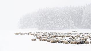 Un troupeau de moutons dans la neige. Photo d'illustration. (GIAN EHRENZELLER / MAXPPP)