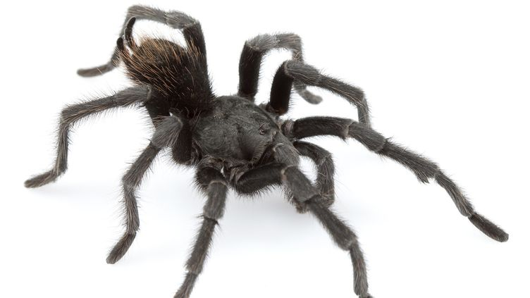 Le chanteur country Johnny Cash a maintenant une espèce d'araignée à son nom :Aphonopelma johnnycashi  (Chris Hamilton / AFP)