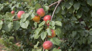 Une variété hybride, l'abricot-prune, au double goût savoureux.  (MAXPPP)