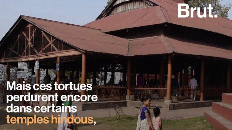 Les trionyx noirâtres sont des tortues à carapace molle endémiques d'Asie du Sud. Cette espèce est éteinte à l'état sauvage mais on la rencontre dans de nombreux temples hindous.  (BRUT)