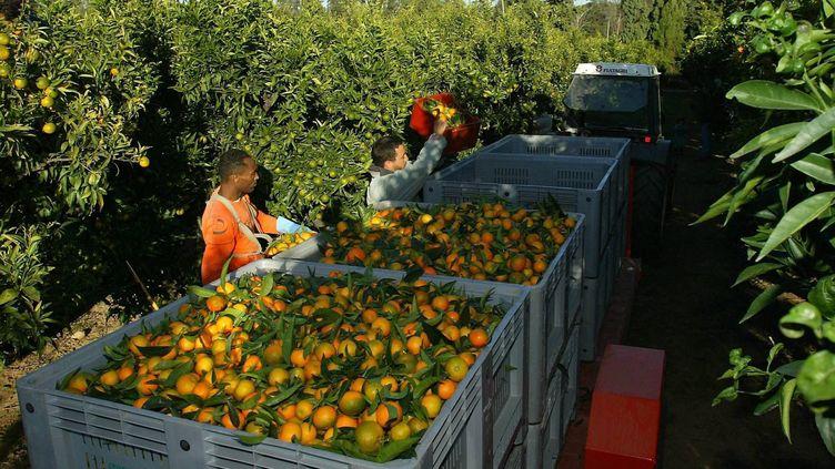 La récolte des clémentines en Corse, enoctobre 2012. (MAXPPP)