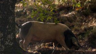 Au détour d'un virage, dans la vallée des Aldudes (Pyrénées-Atlantiques), il n'est pas rare de croiser des cochons. Un artisan charcutier a relancé l'élevage d'une race en voie d'extinction en plein coeur du pays basque intérieur. (France 2)