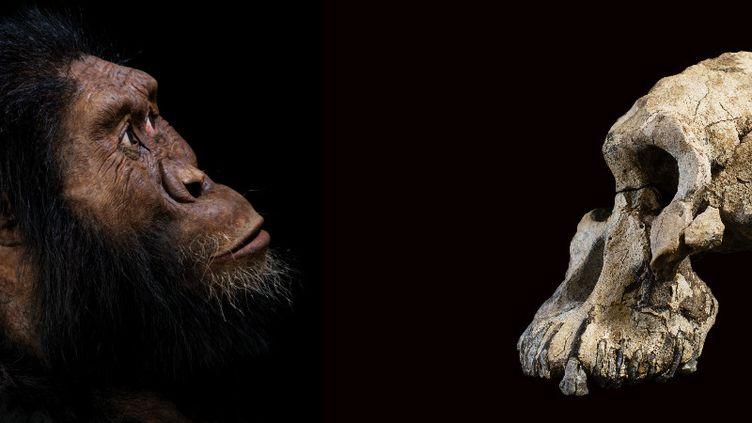 A gauche, reconstitution de la tête de MRD, spécimen d'Australopithèque, à partir du crâne (à droite) découvert en Ethiopie. (HO / CLEVELAND MUSEUM OF NATURAL HISTORY / AFP)