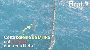 VIDEO. Au Japon, une baleine coincée depuis plus de 12 jours dans des filets de pêche (BRUT)