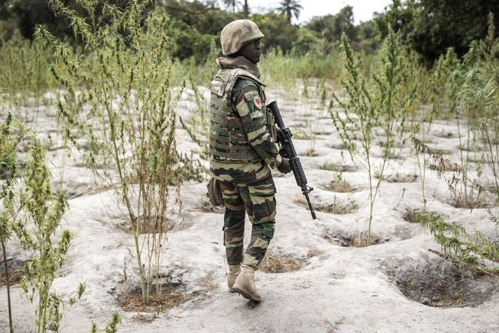 Les rebelles de Casamance sont très investis dans la culture du cannabis, un moyen de financer leur combat, au point de se confondre avec les trafiquants. (JOHN WESSELS / AFP)