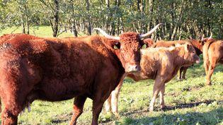 L'animal contaminé par l'ESB appartenait à un élevage de 400 vaches Salers des Ardennes. (MAXPPP)