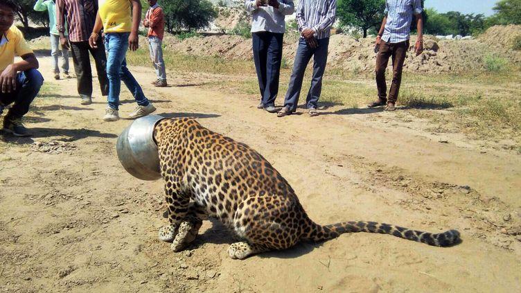 Des villageois autour d'un léopard dont le tête est restée coincée dans un pot,Rajasthan (Inde), le 30 septembre 2015 (KABIR JETHI / AP )