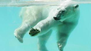 Un ours polaire au zoo d'Amnéville (illustration). (MAXPPP)