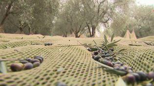 L'huile d'olive, produit star de nos cuisines, est aussi très bonne pour la santé. Du côté de Nice (Alpes-Maritimes), la récolte très prometteuse des olivesva durer encore un mois. (France 2)