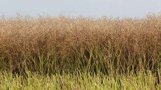 Une culture de colza, similaire à celle détruite par les faucheurs volontaires. (OLIVIER BOITET / MAXPPP)