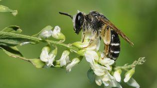 A l'origine de cette chute de la production de miel, l'hécatombe dans les ruches françaises,selon RTL. (MICHEL RAUCH / BIOSPHOTO / AFP)