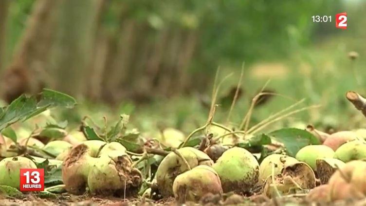 Des pommes déchiquetées, au sol, dans une exploitation de l'Aude, le 8 juillet 2014. ( FRANCE 2 / FRANCETV INFO)