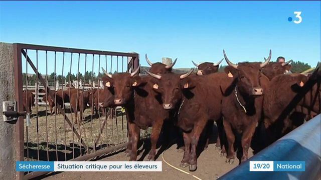 Sécheresse : situation critique pour les éleveurs