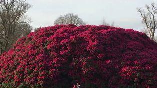À Horsham, dans le Sussex (Angleterre), un immense rhododendron fait la fierté du jardin d'un hôtel. Les touristes sont stupéfaits face à une telle plante qui traverse les âges. (FRANCE 2)