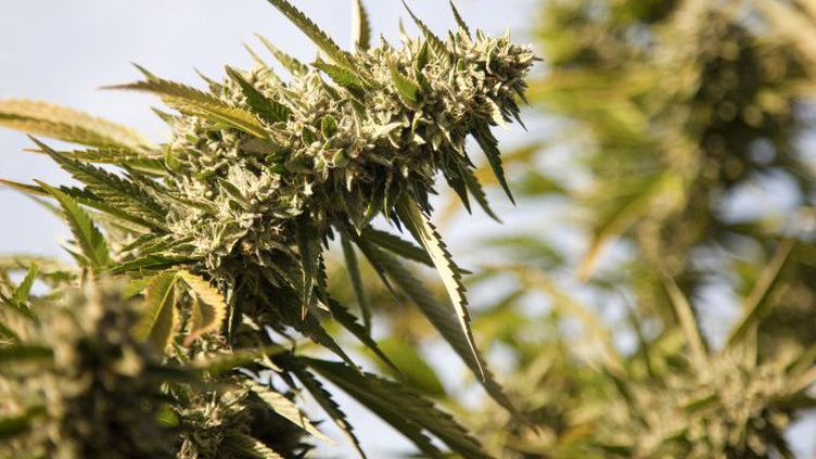 Fleur de cannabis (CULTURA CREATIVE)
