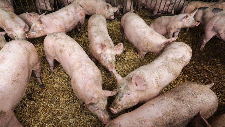 Elevage porcin dans le Finistère le 27 mai 2013. Aumoment où les cochons sont nourris, le niveau sonore atteint entre 121 et 133 décibels. (FRANCOIS DESTOC / MAXPPP)