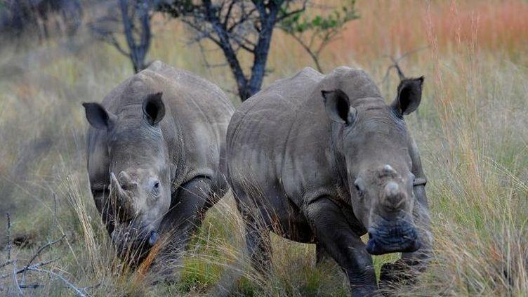 Deux rhinocéros blancs à Limpopo (Afrique du Sud) en mars 2012. (AFP- ALEXANDER JOE )