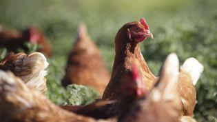 Des poules pondeuses rousses élevées en plein air dans une ferme écologique du Gard, le 20 avril 2016. (FRANCK LODI / SIPA)