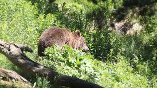Un ours brun en semi-liberté, le 18 juin 2015, dans le parc animalier des Angles (Pyrénées-Orientales). (RAYMOND ROIG / AFP)