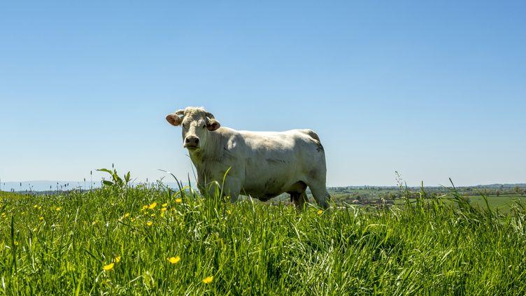 Plusieurs vaches ont été recouvertes de peinture à Autechaux (Doubs). (BERNARD JAUBERT / ONLY FRANCE / AFP)