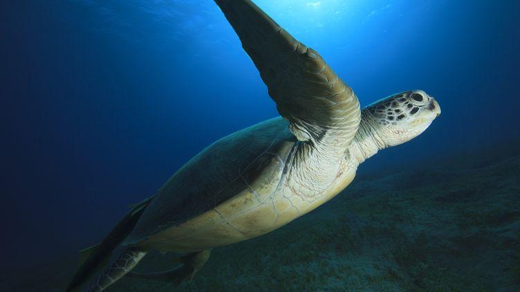 Une tortue marine en mer Rouge, au large de l'Egypte. (STUART KEASLEY / ROBERT HARDING PREMIUM / AFP)