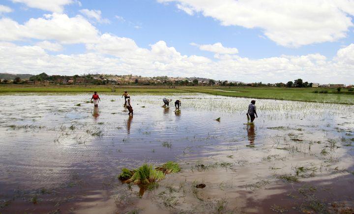 Paysans travaillant dans une rizière près d'Antananarivo le 30 octobre 2013. (THOMAS MUKOYA / X90150)