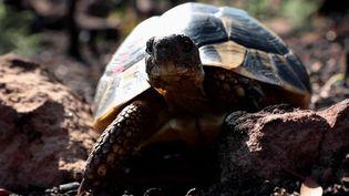 Les tortues d'Hermann blessées au cours des violents incendies dans le Var, ont retrouvé leur liberté ainsi que leur espace naturel. L'événement a suscité l'émotion des habitants.  (CAPTURE ECRAN FRANCE 2)