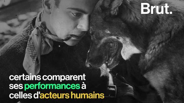 Élevé au États-Unis, le berger allemand a eu une vie hors-norme qui l'a porté au sommet de la gloire.