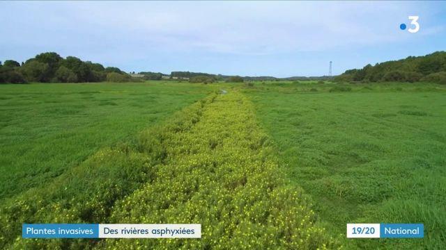 Environnement : ces plantes invasives qui asphyxient les rivières